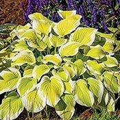 Spring Morning Hosta