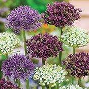 Flat-Top™ Allium Mixture