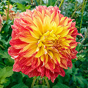 El Sol Giant Dinnerplate Dahlia