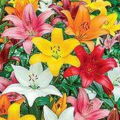 Asiatic Lily Mixture Super Sak®