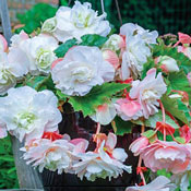 Angelique Hanging Begonia