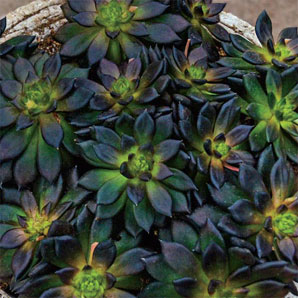 Test Mexican Hen And Chicks Black Night