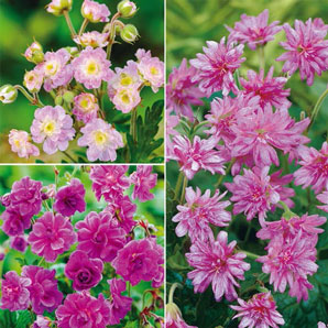 Great Weekend Deals - Everblooming Hardy Double geranium Collection
