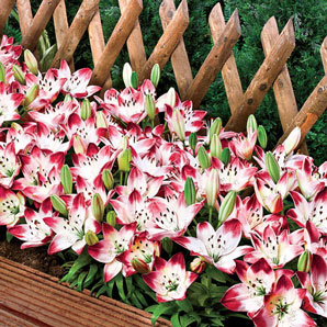 Sugar Baby Carpet Border Lily Brecks Com