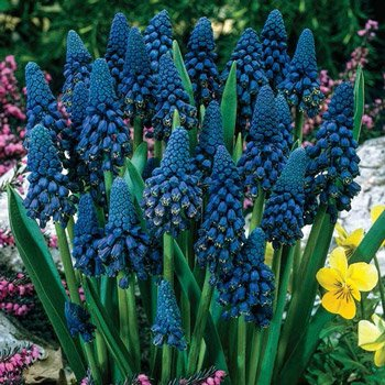 Giant Blue Grape Hyacinth