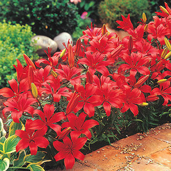 Red Carpet Border Lilies