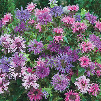 Blue Shades Bee Balm Mixture