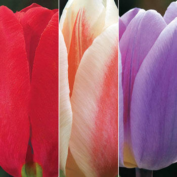 Forever Spring™ Tulip Collection