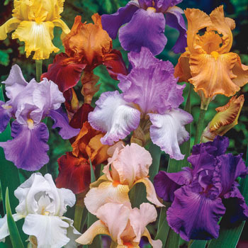 Reblooming Tall Bearded Iris Mixture