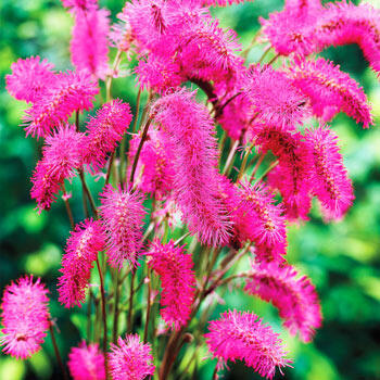 Japanese Bottlebrush